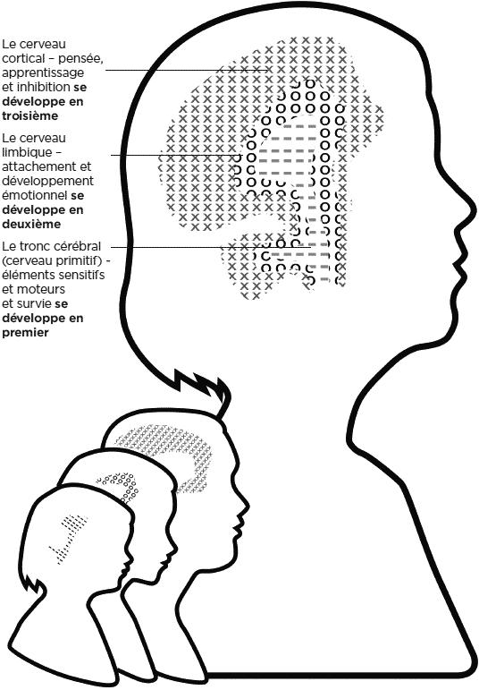 développement du cerveau : les têtes grandissent