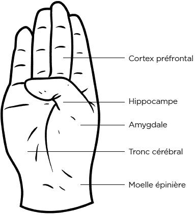main : Cortex préfrontal, hippocampe, amygdale, tronc cérébral, moelle épinière