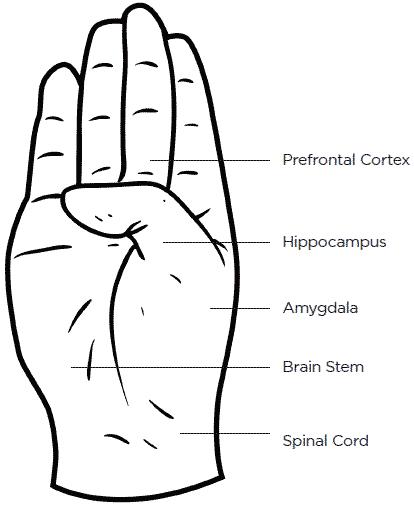 hand: prefrontal cortex, hippocampus, amygdala, brain stem, spinal cord